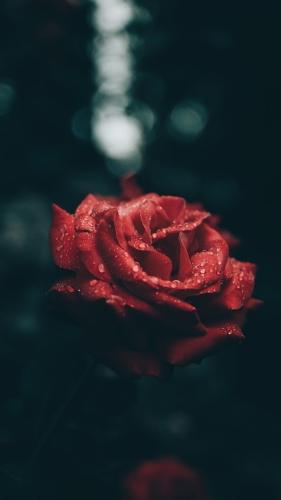 Escribir En Foto Imagen de la mejor rosa roja 1 - Escribir En Foto Imagen de la mejor rosa roja