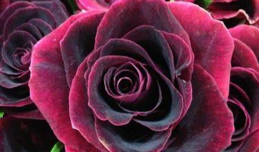 Photo of Escribir En Foto La imagen de las flores rojas oscuras hermosas más dulces fuertes