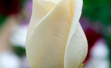 Photo of Escribir En Foto La imagen de una delgada flor blanca cerrada