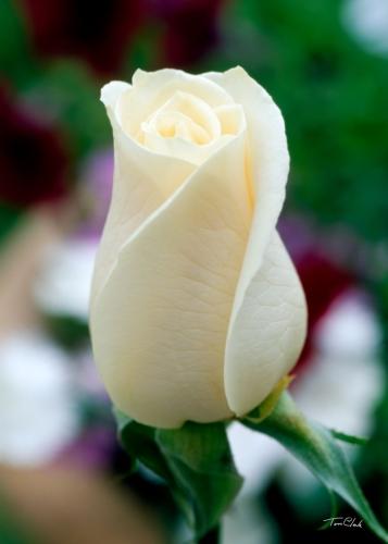 Escribir En Foto La imagen de una delgada flor blanca cerrada 1 - Escribir En Foto La imagen de una delgada flor blanca cerrada